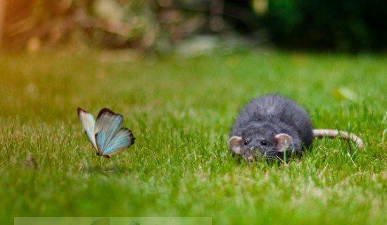 Как избавиться от запаха мышей?
