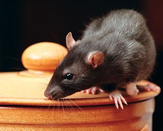 Как избавиться от крыс?