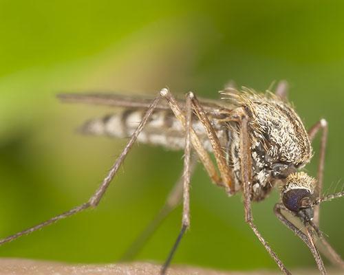 mosquito-square