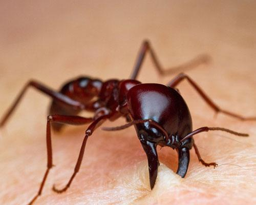 7-top-most-horrible-animals-in-the-world-siafu-ants-6-8870-siafu-ants