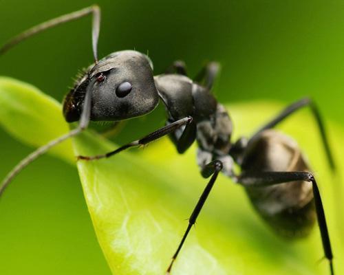 Black-Ant-Extract-Powder-Hei-Ma-Yi-Polyrhachis-vicina-Roger