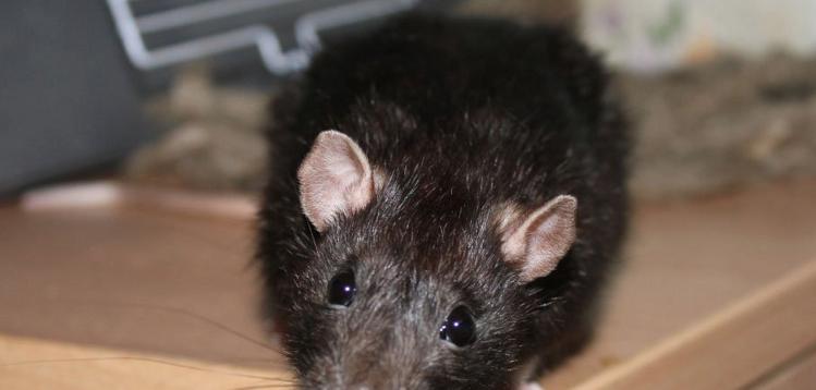 мышь-на-кухне