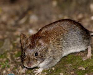 Мыши в квартире — что делать?