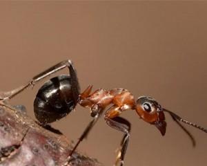 Как избавиться от муравьев в доме?