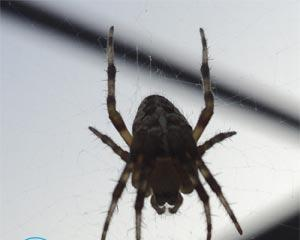 Черные пауки в доме — фото