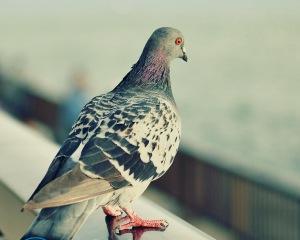 Чем отпугнуть голубей?