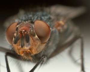 Малиновая муха — борьба с ней