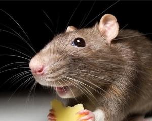 Как избавиться от мышей в частном доме?