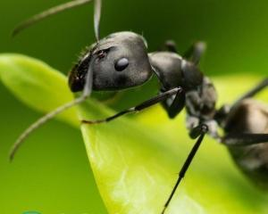Как избавиться от муравьев с помощью уксуса?