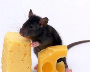 Как бороться с мышами на даче?